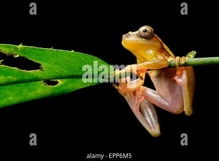Surinam Clown treefrog (Dendropsophus leucophyllatus), Treefrog family (Hylidae), Yasuni National Park, Ecuador - Stock Photo