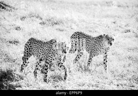 BOTSWANA-JUNE 1, 1999: Cheetahs in the Moremi Game Reserve, Botswana on June 1,1999. - Stock Photo