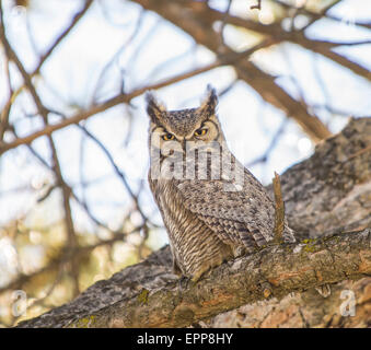 Owls,Great Horned Owl perched on a pine tree limb. Boise, Idaho,USA - Stock Photo