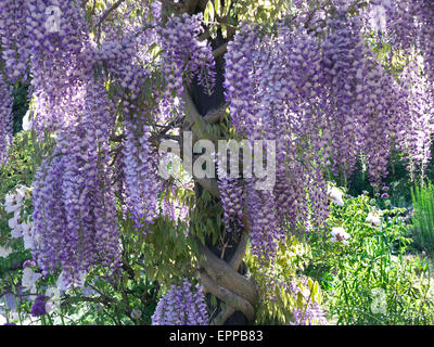 Profusion of typical Wisteria in full bloom, growing in a sunny verdant garden - Stock Photo