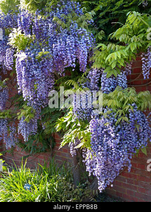 Profusion of Wisteria in full bloom, growing against a red brick wall - Stock Photo