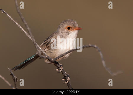 female Splendid Fairywren (Malurus splendens) - Stock Photo