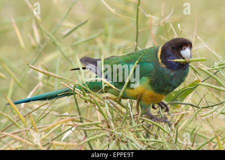 Port Lincoln Parrot / Twenty-eight Parrot integrade feeding on Canola seeds - Stock Photo