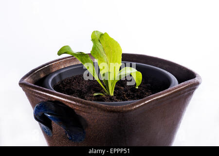 Lettuce plant in a pot, something small grow big, new green small weak growth begin begin cutout white background - Stock Photo