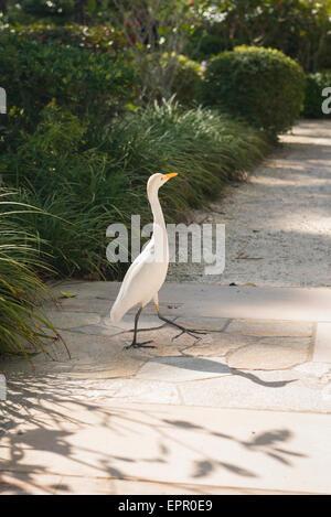Florida , Del Ray Beach , Morikami Museum & Park , Roji-En , Japanese Gardens of Drops of Dew white heron walking - Stock Photo