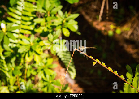 Florida , Del Ray Beach , Morikami Museum & Park , Roji-En , Japanese Gardens of Drops of Dew dragon fly insect - Stock Photo
