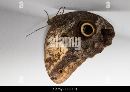 Forest Giant Owl (Caligo eurilochus) roosting on the ceiling of a building - Stock Photo
