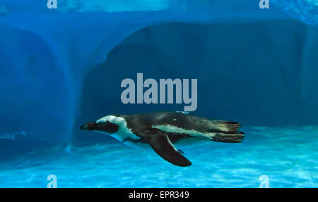 Humboldt penguin (Spheniscus humboldti) quickly swimming under b - Stock Photo
