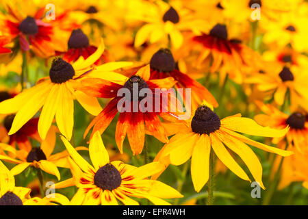 Vivid colored rudbeckia or black eyed susans, in the late summer garden. - Stock Photo