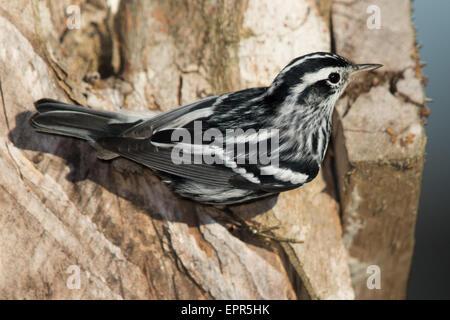 Black-and-white Warbler (Mniotilta varia) - Stock Photo