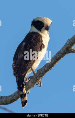 Laughing Falcon (Herpetotheres cachinnans) - Stock Photo