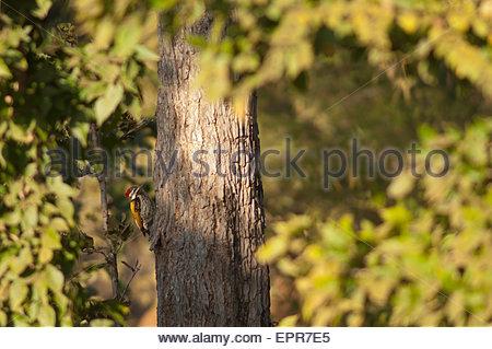 Black-rumped Flameback (Dinopium benghalense). Female. Bandhavgarh National Park. Madhya Pradesh. India. - Stock Photo