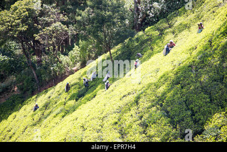 Female workers picking tea leaves on hillside, Nuwara Eliya, Central Province, Sri Lanka, Asia - Stock Photo