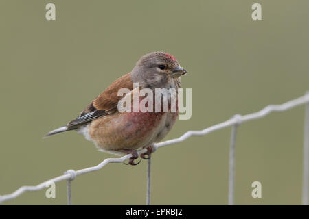 male Eurasian Linnet (Carduelis cannabina) perched on a wire fence - Stock Photo