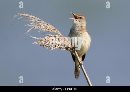 Great Reed Warbler (Acrocephalus arundinaceus) singing from the top of a Phragmites reed - Stock Photo
