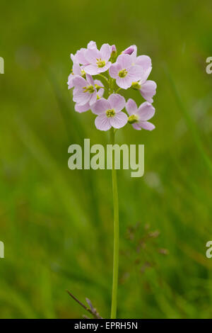 Cuckoo-flower (Cardamine pratensis) - Stock Photo