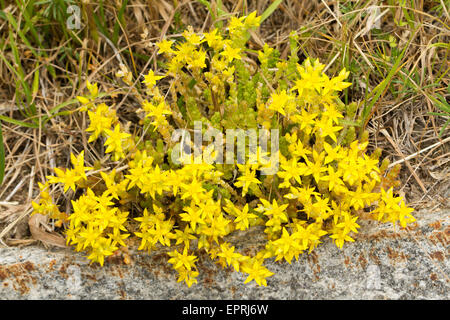 Biting Stonecrop (Sedum acre) flowers - Stock Photo