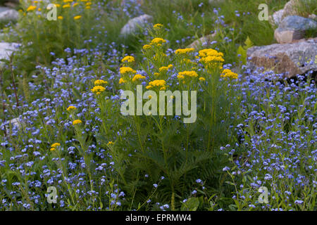 Hugueninia tanacetifolia and Alpine Forget-me-not (Myosotis alpestris) in an alpine boulder field - Stock Photo
