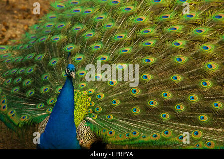 Portrait of peacock posing with feathers out - Stock Photo