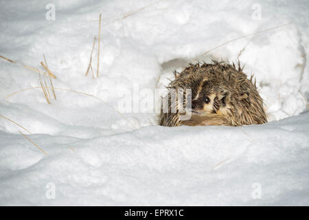 American Badger - Stock Photo