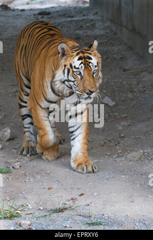 Bamera male tiger  (Royal Bengal Tiger or Panthera Tigris Tigris) at Bandhavgarh National Park, MadhyaPradesh, India - Stock Photo