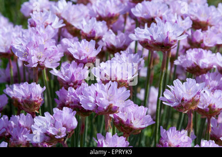 A clump of Sea Thrift on the cliff top at Seaford Head, East Sussex - Stock Photo