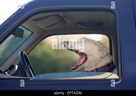 Close-up of dog yawning while inside a truck, USA - Stock Photo