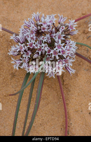 San Juan Onion (Allium textile), blooming, San Rafael Swell, Utah USA - Stock Photo