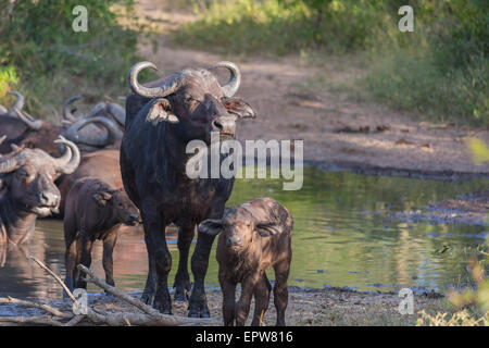 Small herd of buffalo at a waterhole in Africa 1 - Stock Photo