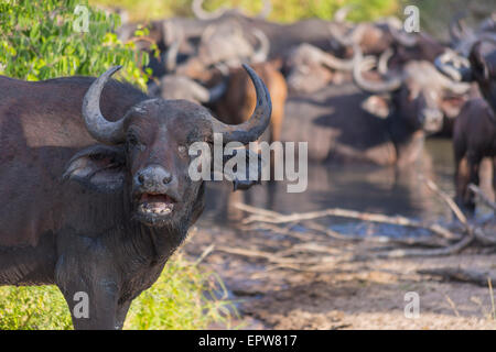 Small herd of buffalo at a waterhole  in Africa 2 - Stock Photo