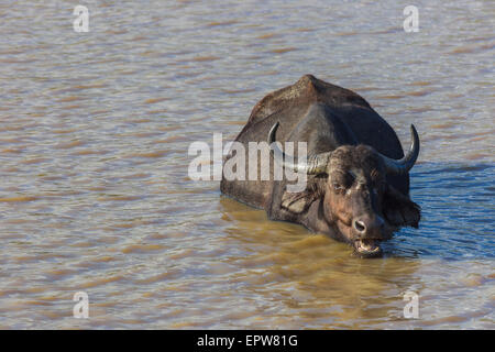 Buffalo chewing cud while submerged in a dam of water - Stock Photo