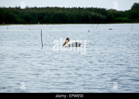A Pelican in the Danube Delta in Romania - Stock Photo