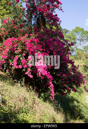 Pink Bougainvillea flowers in the Highlands of Sri Lanka, Asia - Stock Photo