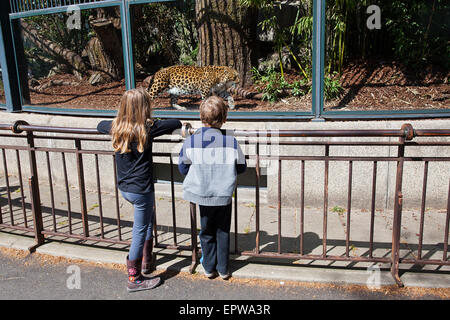 boy and girl watch a Chinese-Leopard (Panthera pardus japonensis) pacing at the Paris Zoo - Stock Photo