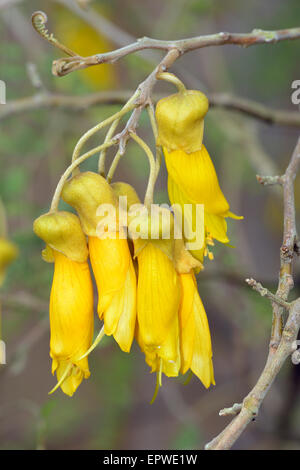 Large-leaved Kowhai - Sophora tetraptera From New Zealand - Stock Photo
