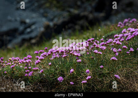 Sea Thrift flowers in bloom on the edge of a cliff on the Pembrokeshire Coast, Wales - Stock Photo