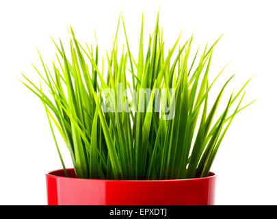 Green grass in a red pot close-up - Stock Photo