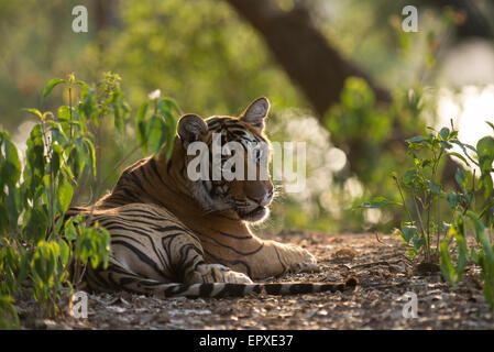 Adolescent male tiger 'Pacman' near the Rajbagh lake in Ranthambhore Tiger Reserve, India. - Stock Photo