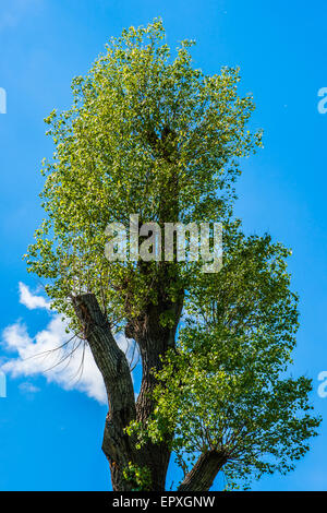 Old poplar tree in bloom against the background of blue sky. White cloud and white poplar wool in the air - Stock Photo