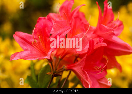 Flowering azalea Azaleum mollis - Stock Photo