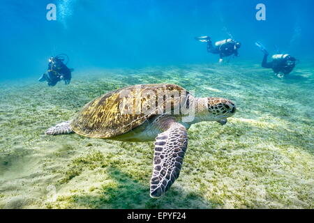 Marsa Alam - underwater view at divers and Sea Turtle, Red Sea, Egypt - Stock Photo