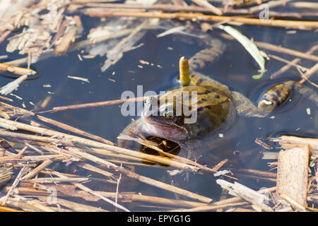 Common frog (Rana temporaria) in the pond - Stock Photo