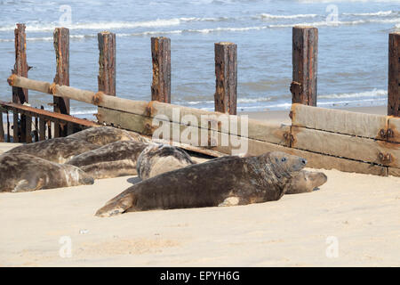 Grey seal , Halichoerus grypus, on the breeding beaches at Horsey, Norfolk, UK. - Stock Photo