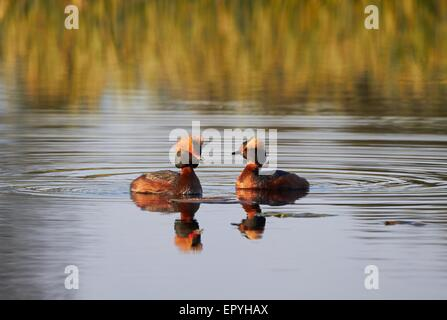 Two Horned Grepes swimming in the lake in the spring. Beautiful evening light of the sunset. - Stock Photo