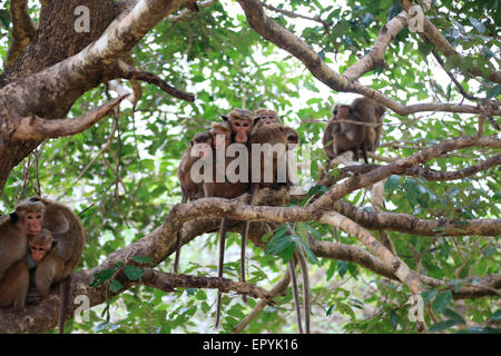 Toque macaque, Macaca sinica, monkeys, Polonnaruwa, North Central Province, Sri Lanka, Asia - Stock Photo