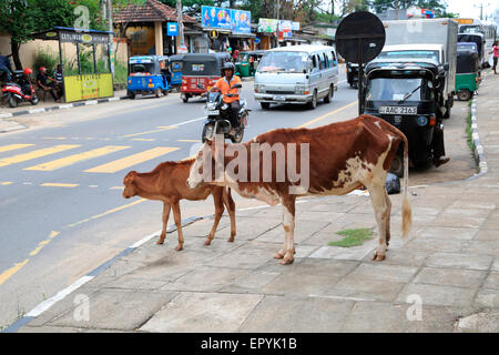 Cow and calf by roadside, Polonnaruwa, North Central Province, Sri Lanka, Asia - Stock Photo