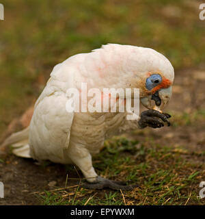 Portrait of little corella with blurred background - Stock Photo