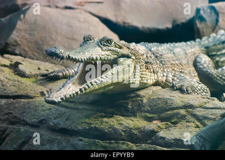 Young crocodile sitting on the rocks with the open mouth - Stock Photo