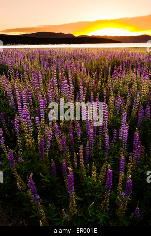 Beautiful fields of wildflowers due to lowering levels of Lake Tahoe at Gatekeepers museum in north lake tahoe, - Stock Photo