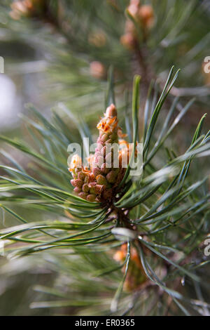 New Pine Cone on Pine Tree - Stock Photo